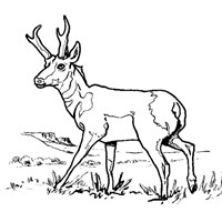 antelope coloring page