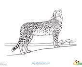Cheetah Coloring Page